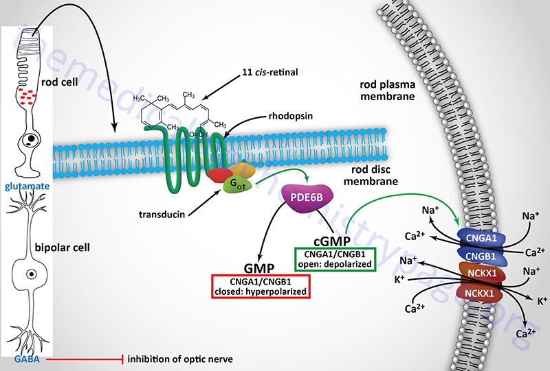 role of vitamin A in the function of visual signaling via rod cells